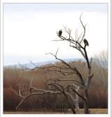 Белоголовые орланы (Bald Eagle) - национальный символ США.