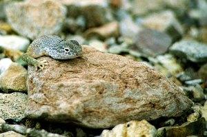 Безухая ящерица (Southwestern Earless Lizard).
