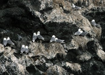Парочки моёвок на гнездах. Остров Gull Island.