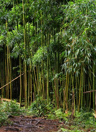 Заросли бамбука на тропе Pipiwai.