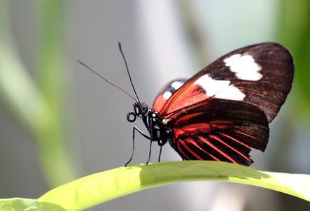 Tiger longwing butterfly (тигровая длиннокрылая бабочка), обитает в Центральной и Южной Америке.