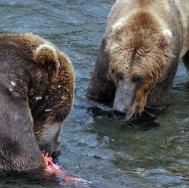 Подбирающийся к маме-медведице взрослый сын.