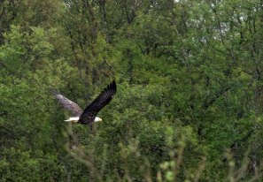 Парящий орел над рекой Brooks river.