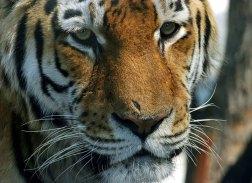 Амурский тигр в Питерском зоопарке.