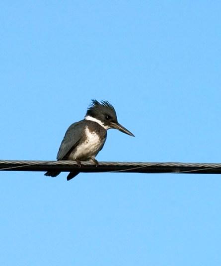 Опоясанный Зимородок (Belted Kingfisher) на проводах над Северным шоссе.