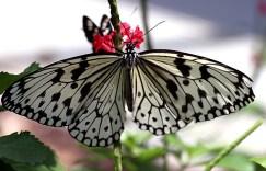 Paper Kite Butterfly (бабочка бумажный змей) из Юго-Восточной Азии.