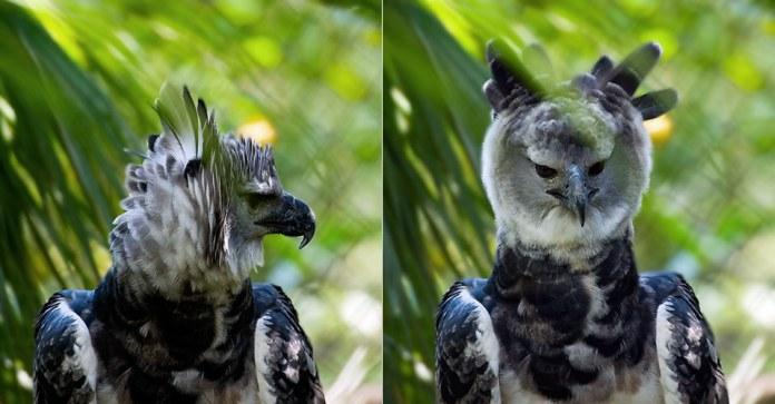 Очень редкий орел-гарпия. Питается обезьянами. Фото на паспорт.