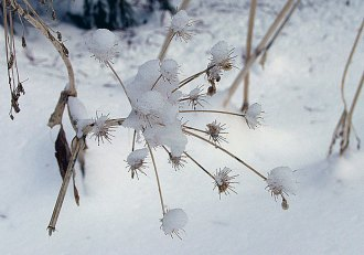 "Растение, извеcтное в народе как ""зонтик"". Тропа ""Big trees trail""."