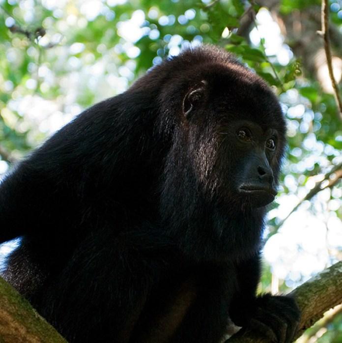 Задумчивый главарь стаи. Black Howler monkey. Community Baboon Sanctuary.