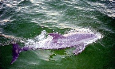 """Дельфин в природной среде. Яхта """"Black beard""""."""