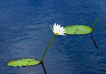 Кувшинка и листья-близнецы, соединенные стеблем под водой. Заповедник Crooked Tree.