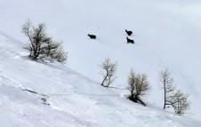 Три серны, пересекающие снежный склон.
