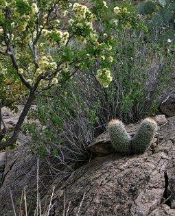 Два кактуса-близнеца. Тропа Grapevine Hills trail.