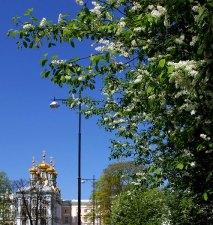 Белая сирень на улицах Пушкина.