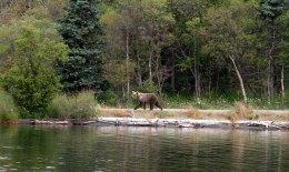 Проснувшийся медведь на пути к водопаду.