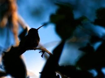 Колибри в контровом свете.