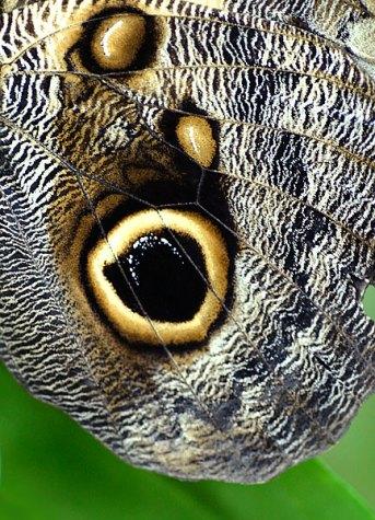 Фрагмент крыла бабочки-совы.