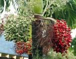 Пальма с плодами около гостиницы.