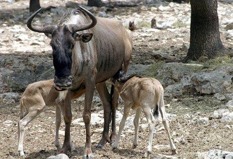Кормящая антилопа с двумя малышами.