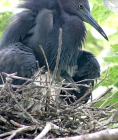 Little blue heron в гнезде с птенцом.