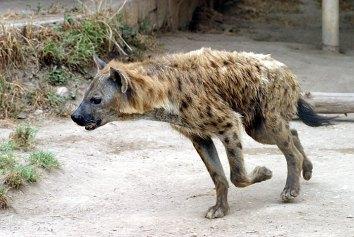 Упражняющаяся в беге гиена.