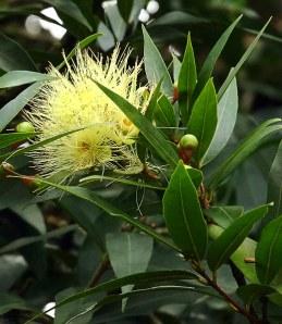 Пушистые цветы вечнозеленого растения Ohia tree (Каркас).