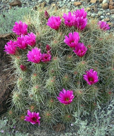 Куст земляничного кактуса в цвету (Strawberry pitaya cactus).