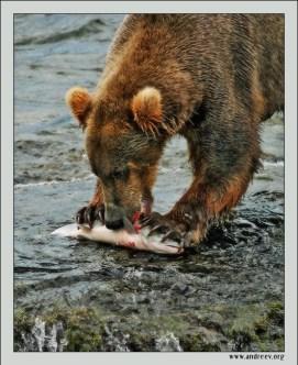"""Медвежья трапеза"". Про одного счастливого молодого медведя, поймавшего наконец-то лосося."