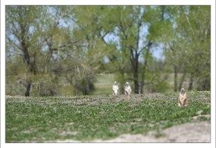 """Просторы """"Prairie dog town""""."""