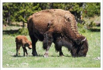 На территории парка Йеллоустоун обитает около 5 тысяч бизонов.