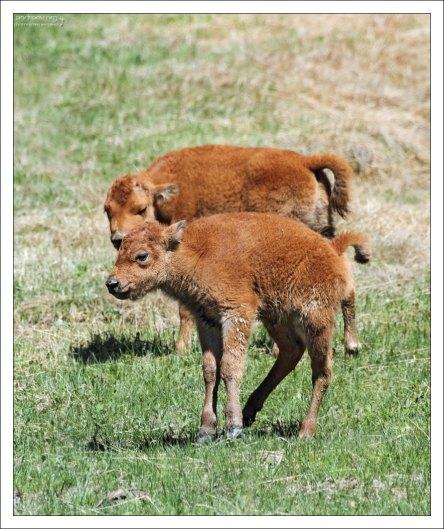 Цвет шерсти молодых бизонов - ярко-коричневый, практически оранжевый.