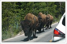 Группа бизонов на дороге.