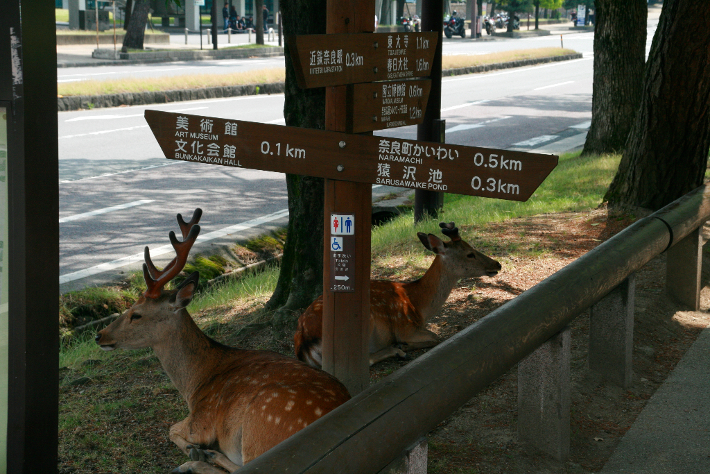 Deers in the middle of the town of Nara near to the Train station.