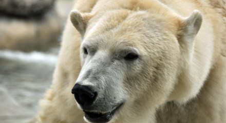 Adult Polar Bear