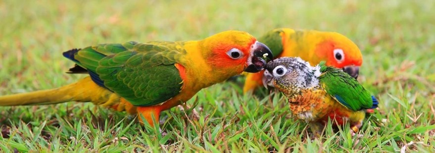 Three parrots groom each other in the grass