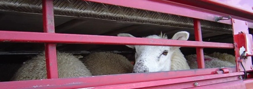 Sheep looks through the bars of cage