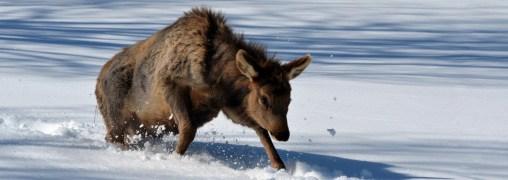 Elk calf trying to walk in deep snow