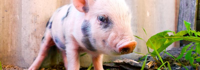 Piglet in garden