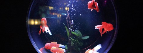 fishes-kept-for-leisure