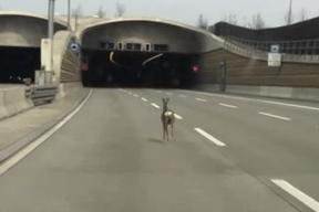 広い道路に迷い込み、疾走する鹿