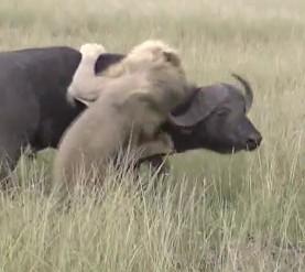 アフリカ水牛を襲うお雄ライオンが頭突きで撃退される