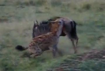 強力な顎でヌーを狩るハイエナ