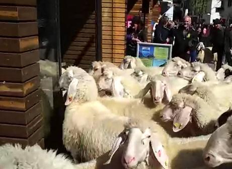 スポーツ用品店に大挙して押しかける羊の大群