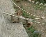 一生懸命ロープを渡って抱き合う赤ちゃん猿