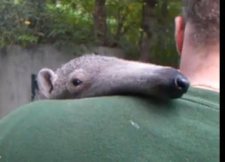男性の肩の上で眠りに落ちるアリクイ