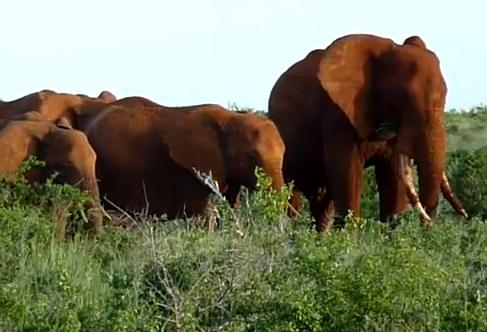 ケニアの赤いゾウ