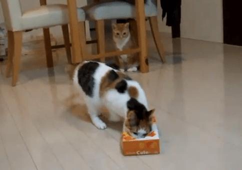 ティッシュ箱と戦う猫