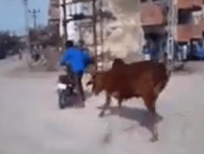 バイクで遊んでいる男に興奮する牛