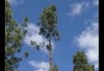 高い木を切り倒したらリスが落ちてきた