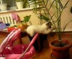 危険を予測できない子猫、アクロバチックに転落